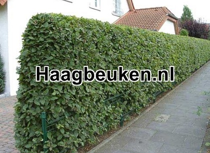 Haagbeuk nl